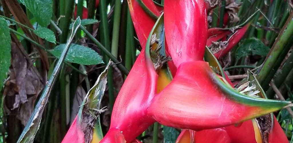 Red plant in the Arenal area of Costa Rica