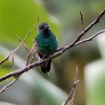 blue striped hummingbird
