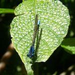 Blue dragonfly sitting on leaf at Santa Elena Cloud Forest
