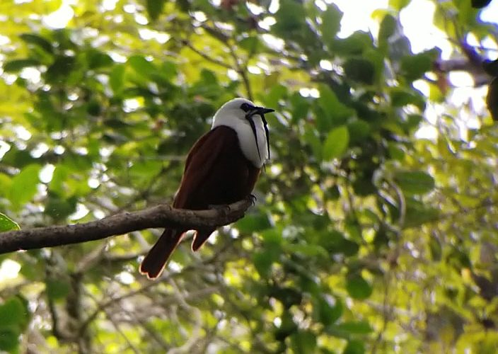 Three-wattled bellbird sitting in a tree